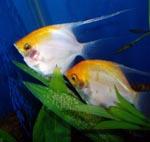 Angel Fish pair breeding, Angel Fish Pair, angel fish, fresh water angel fish, tropical fish angel fish