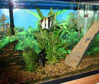 Angel Fish in planted tank, Angel Fish pair breeding, Angel Fish Pair, angel fish, fresh water angel fish, tropical fish angel fish
