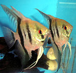 Angel Fish Pair, angel fish, fresh water angel fish, tropical fish angel fish