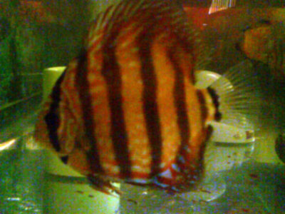 red discus fish, symphysodon