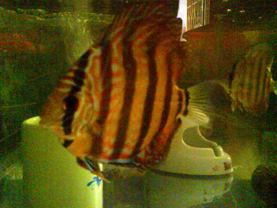 symphysodon, discus fish, baby discus