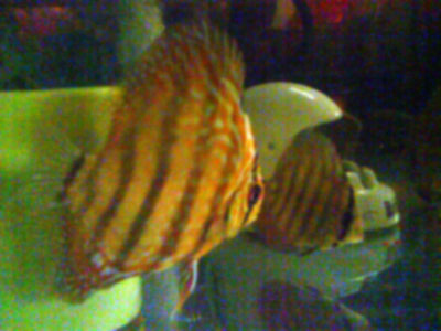 symphysodon, discus fish, baby discus, red discus