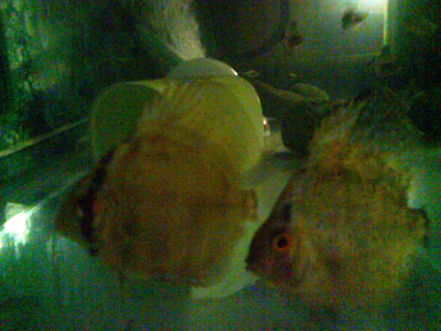 baby discus fish, discus fish, tropical discus fish, Symphysodon