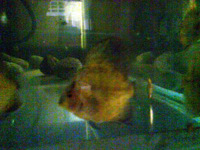 red pigeon discus, baby discus fish, discus fish, tropical discus fish, Symphysodon